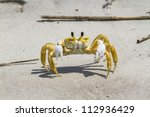 Atlantic Ghost Crab  Ocypode...