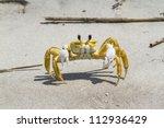 Atlantic Ghost Crab  Ocypode...