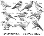 songbird collection ... | Shutterstock .eps vector #1129374839