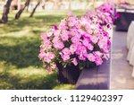 Beautiful Pink Petunia Flowers...
