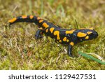 The Fire Salamander  Salamandr...