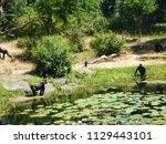 gorillas in dutch zoo | Shutterstock . vector #1129443101