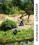 gorillas in dutch zoo | Shutterstock . vector #1129443104