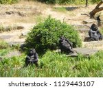 gorillas in dutch zoo | Shutterstock . vector #1129443107