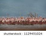 flock of lesser flamingos and... | Shutterstock . vector #1129451024