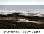 brown seals laying at the coast ... | Shutterstock . vector #1129471355