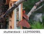 Male Cardinal Bird At Feeder  ...