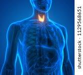 human body glands thyroid gland ... | Shutterstock . vector #1129568651