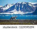 polar bear in south spitsbergen | Shutterstock . vector #1129595294