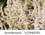 White Astilbe flower in the garden - stock photo