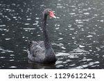 black swan swimming in pure... | Shutterstock . vector #1129612241