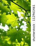 Branch Of Fresh Green Maple...