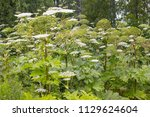 poisonous giant hogweed. a... | Shutterstock . vector #1129624604