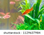 little red fish with green... | Shutterstock . vector #1129637984