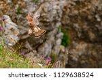 eurasian kestrel  falco... | Shutterstock . vector #1129638524