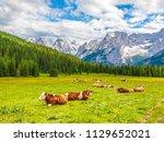 herd of alpine cows lying on... | Shutterstock . vector #1129652021