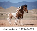 mom and baby paint horses   Shutterstock . vector #1129674671