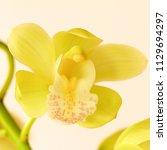bloom of yellow cymbidium...   Shutterstock . vector #1129694297