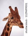 tall reticulated giraffe... | Shutterstock . vector #1129699031