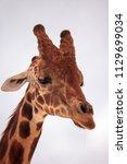 tall reticulated giraffe... | Shutterstock . vector #1129699034