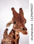 tall reticulated giraffe... | Shutterstock . vector #1129699037