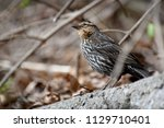 close up shot of a female red... | Shutterstock . vector #1129710401