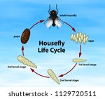 science housefly life cycle... | Shutterstock .eps vector #1129720511
