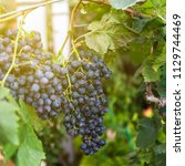 warm light red grape bunch with ... | Shutterstock . vector #1129744469
