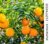 orange tree in orange farm. | Shutterstock . vector #1129744535