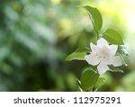 Beautiful White Common Gardeni...