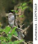barred warbler hiding in tree.... | Shutterstock . vector #1129792619