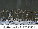 aurochs bison in nature  ...   Shutterstock . vector #1129856351