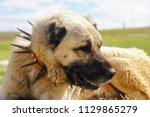 anatolian shepherd dog with... | Shutterstock . vector #1129865279