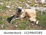 anatolian shepherd dog with... | Shutterstock . vector #1129865285