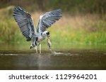 the grey heron  ardea cinerea ...   Shutterstock . vector #1129964201
