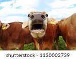 Small photo of A mooing cow. Funny cow photo with open mouth
