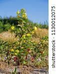 evening primrose  also known as ... | Shutterstock . vector #1130012075