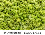 stable background of green moss.... | Shutterstock . vector #1130017181