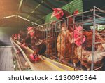 eggs chickens  hens in... | Shutterstock . vector #1130095364