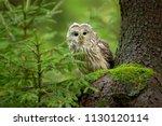 the ural owl  strix uralensis ... | Shutterstock . vector #1130120114