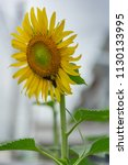 a large sunflower in bloom and... | Shutterstock . vector #1130133995