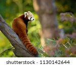 The Red Panda  Ailurus Fulgens...