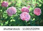 Stock photo flowers roses flowering in roses garden 1130152094
