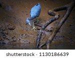 little blue heron  egretta... | Shutterstock . vector #1130186639