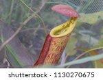 tropical carnivorous plant...   Shutterstock . vector #1130270675