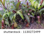 population of tropical pitcher...   Shutterstock . vector #1130272499