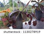 tropical pitcher carnivorous...   Shutterstock . vector #1130278919
