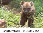 hyena cub south africa  | Shutterstock . vector #1130319455