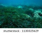 sea grass under the aegean sea... | Shutterstock . vector #1130325629
