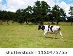 scenes of different color cows... | Shutterstock . vector #1130475755